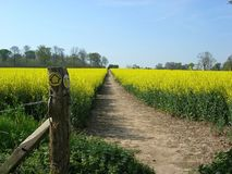 Country walks. Designated walk through a field of rapeseed in full flower Royalty Free Stock Photography