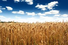 Country wheat field under a blue sky Royalty Free Stock Photography