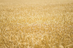 Wheat ears field. Yellow grain ready for harvest growing in a farm field Royalty Free Stock Photos