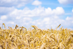 Country wheat grain field. Yellow grain ready for harvest growing in a farm field with beautiful blue sky Royalty Free Stock Photography