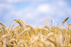 Country wheat grain field. Yellow grain ready for harvest growing in a farm field with beautiful blue sky Stock Photo
