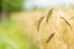 Country wheat grain field. Yellow grain ready for harvest growing in a farm field with beautiful blue sky Stock Image