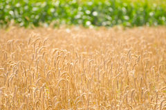 Country wheat grain field. Yellow grain spikes ready for harvest growing in a farm field with background of corn plants Royalty Free Stock Images