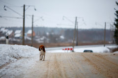 Country winter road and dog Royalty Free Stock Images