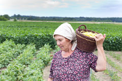 Country woman with basket with yellow bean. Senior country woman carrying knitted basket with yellow bean in the field royalty free stock photos