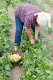 Country woman harvesting yellow bean Stock Image