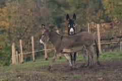 Countrylife d'âne Photos stock