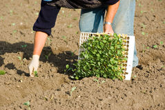 Countryman plant young plants. In land Royalty Free Stock Image