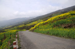Countryroad around mountain of  rape flowers Royalty Free Stock Photography