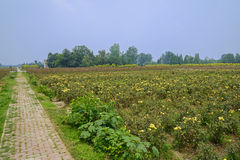 Countryroad in flower fields in sunny summy Royalty Free Stock Images