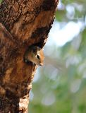 Baby Squirrel on a Tree Hollow. A countryside baby squirrel is looking outside from a tree hollow stock images