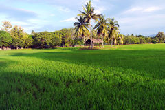 Rice Paddy Field in Langkawi Stock Photos