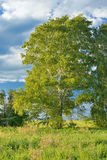 Countryside with a birch grove Royalty Free Stock Photo