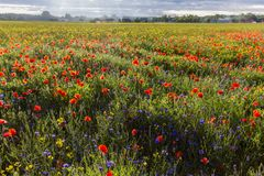 Countryside and blooming poppy field Royalty Free Stock Images