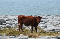 The countryside of Burren with cows walking. The countryside of Burren with a cow walking around the park Stock Image