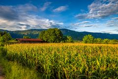 Countryside Corn Field in Thailand Royalty Free Stock Photography
