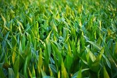 Countryside Corn Fields. Closeup. Corn Field in Illinois, USA Royalty Free Stock Photography