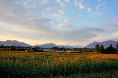 Countryside. A cornfield and mountains mid-summer Stock Images