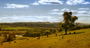 Countryside Cows Panorama Royalty Free Stock Photography