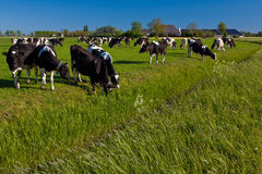 Countryside with farmer and cows. Countryside with farmer cows and meadows Stock Photos