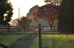 The Countryside. A fence with a path and green grace behind it and a glowing red maple tree at sunset in the countryside Royalty Free Stock Photo