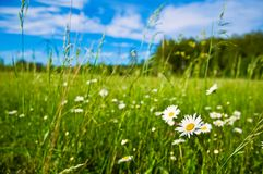 Countryside field with chamomiles. Countryside green field with chamomiles Royalty Free Stock Photo