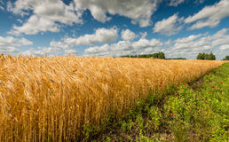 Countryside with field of ripening wheat Stock Photos
