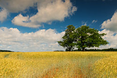 Countryside with field of wheat and oak trees Stock Photo