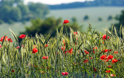 Countryside flowers Royalty Free Stock Photos