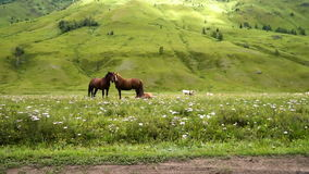 Countryside, green, horses. Two bay horses on the grass. Against the backdrop of green mountains with herbs. Good background for ads or shampoo natural medicines stock video