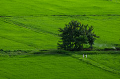 Countryside Green rice fields Stock Photo