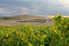 Region of Sardinia, Italy. Vineyard landscape stock images