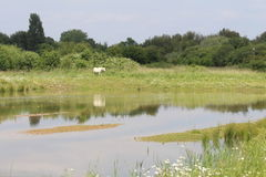 Countryside with lake. A countryside landscape with a lake in the foreground and a white horse grazing reflected in the water in the  background Royalty Free Stock Photos