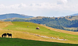 Countryside landscape. A few sheeps and donkies on a high hill in carpatian mountains stock image