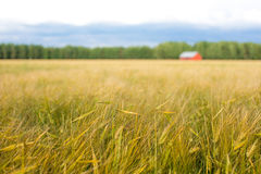 Countryside landscape with barley field in front, red barn and f Stock Images