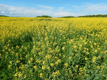 Countryside landscape with canola oil field Royalty Free Stock Images