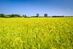Countryside landscape with corn field Royalty Free Stock Photo