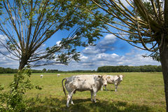 Countryside landscape with cows Royalty Free Stock Image
