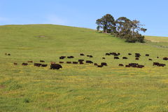 Countryside landscape. Cows grazing in the field, California Stock Photos