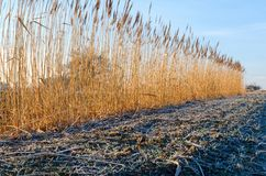 Countryside landscape in early morning. Field and reed with frostiness, Poland Stock Photos