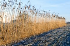 Countryside landscape in early morning. Field and reed with frostiness, Poland Royalty Free Stock Photos
