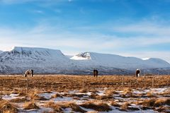 Countryside landscape, farmland in winter with horses and snow mountain in the morning Stock Images