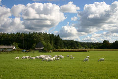 Countryside landscape with goats Stock Photography