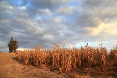 Countryside landscape. Maize ready for harvest. Cloudy skies and eucalyptus trees Stock Image