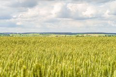 Free Countryside Landscape With Greens Of Ripening Wheat Ears. Agricultural Plantation Background With Limited Depth Of Field. Royalty Free Stock Photo - 108745625