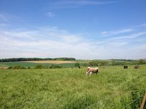 Field with Cows Royalty Free Stock Photography