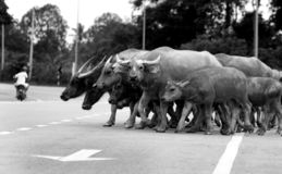 A group of water buffalo crossing the road royalty free stock image