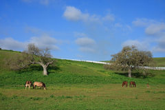 Countryside with mares and foals grazing pasture. Countryside with white fence, oak trees on hillside and horses grazing in pasture with sprinkles of clouds over Stock Images