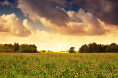 Countryside meadow covered with alfalfa res Royalty Free Stock Image