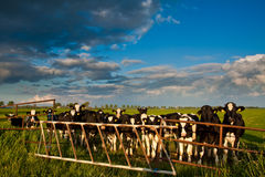 Countryside with meadow and cows. In the evening Royalty Free Stock Images